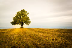 Lonely tree on a field. Fall autumn and golden colours Royalty Free Stock Photo