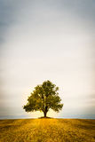 Lonely tree on a field. Fall autumn and golden colours Royalty Free Stock Photography