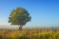 Lonely tree in field in the fog Stock Photo