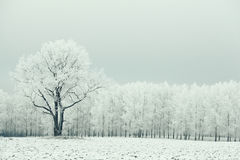 Lonely tree in a field frosted Stock Photo
