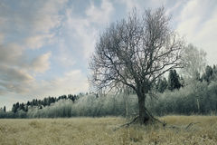 Lonely tree in a field frosted Royalty Free Stock Photos