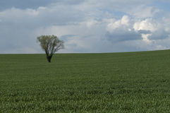 Lonely tree on field. Tree in the middle of cereal field Royalty Free Stock Image