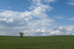 Lonely tree on field. Tree in the middle of cereal field stock photo
