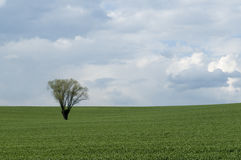 Lonely tree on field. Tree in the middle of cereal field Royalty Free Stock Photo