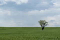 Lonely tree on field. Tree in the middle of cereal field stock images