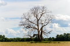 Lonely tree in the field. Natural environmental detail view in latvia stock images