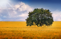 A lonely tree on a field Royalty Free Stock Photo