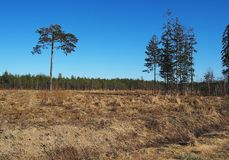 A lonely tree in a field. Pine stands on the edge of the forest. Details. And close-up royalty free stock images