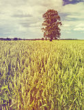 Lonely tree among a field with ripening wheat Royalty Free Stock Photo