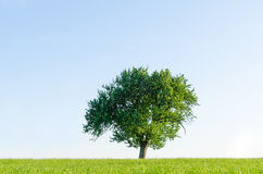Lonely tree in a field. A simple outdoor scene with a solitary tree in a field Stock Image