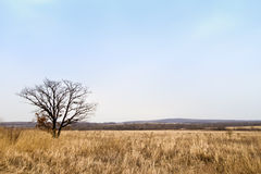 Lonely tree in the field. Single tree in a yellow beskriver field, Estonia Stock Photography