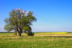 Lonely tree on a field in spring.. Lonely tree on a field in spring. Fair weather Royalty Free Stock Images