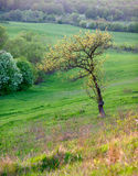 Lonely tree, field, spring,. Lone tree in a field Stock Photography
