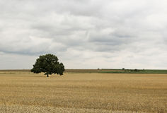 Lonely Tree in Field before Storm Royalty Free Stock Image
