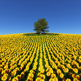Lonely tree on a field of sunflowers under a blue sky. Stock Photography
