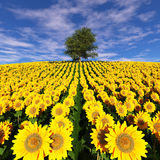 Lonely tree on a field of sunflowers under a cloudy sky. Royalty Free Stock Image