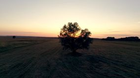 Lonely tree in the field at sunset, aerial photography of video in motion. Lonely tree in the field at sunset, aerial photography of the video in motion in the stock footage