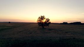 Lonely tree in the field at sunset, aerial photography of video in motion. Lonely tree in the field at sunset, aerial photography of the video in motion in the stock video footage