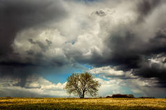 Lonely tree in the field before a thunderstorm. Lonely tree stands in the field against the background of a stormy sky Royalty Free Stock Photo