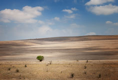 Lonely tree in a field under a blue sky Royalty Free Stock Photography