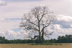 Lonely tree in the field - vintage film look. Lonely tree in the field. natural environmental detail view in latvia - vintage film look stock photography