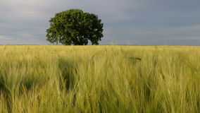 Lonely tree on a field. Lonely tree, on a wheat field, at sunset. Selective focus stock video