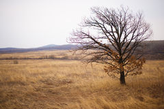 Lonely tree in field, winter autumn. Royalty Free Stock Image