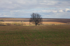Lonely tree among the fields. Lonely tree among autumn field under blue sky Royalty Free Stock Photos