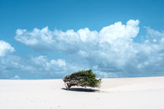 Lonely tree-flag in the desert, Jericoacoara, Ceara state, Brazil Stock Photos