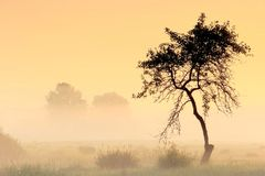 Lonely tree in the fog . royalty free stock image