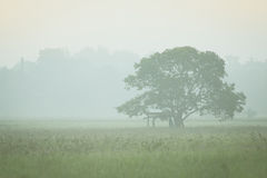 Lonely tree. With fog at sunrise Royalty Free Stock Photography