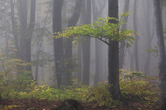 Lonely tree in a foggy forest royalty free stock photo
