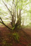 Lonely tree in a foogy day in Gorbea park. Lonely tree in a foogy day in Gorbea natural park royalty free stock photography