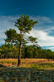 Lonely tree at forest outskirts Royalty Free Stock Photo