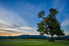 Lonely tree with fresh green leaves grass field Stock Photography