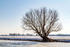 Lonely tree on a frozen canal. Lonely tree without leaves in a snowy winter landscape on the edge of a frozen canal in a blue sky at De Kaag in the Netherlands royalty free stock image