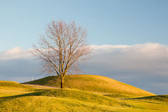 Lonely tree on the golf course Royalty Free Stock Photography