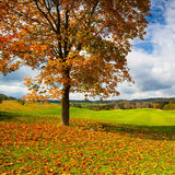Lonely tree on a golf course in autumn Stock Images