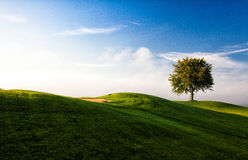 Lonely tree on a golf course in autumn. Misty morning on a empty golf course Royalty Free Stock Image