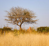 Lonely tree with grass field in Bagan, Myanmar Royalty Free Stock Images