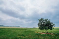 A lonely tree on the grassland of Zharut Banner, Tongliao, Inner Mongolia, China royalty free stock image
