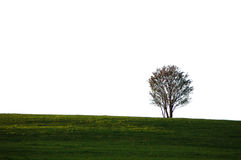 Lonely tree on a grassy field Stock Photography