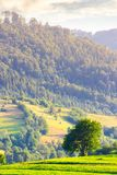 Lonely tree on the grassy field in mountains. Lovely rural scenery in summer stock photography