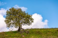 Lonely tree on a grassy hillside. With huge white cloud on the blue sky. beautiful early autumn nature scenery Royalty Free Stock Images