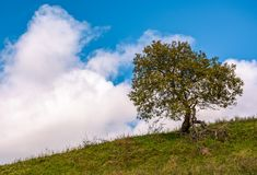 Lonely tree on a grassy hillside. With huge white cloud on the blue sky. beautiful early autumn nature scenery Stock Images