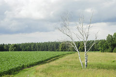 Lonely tree on green corn field at summer Stock Photography