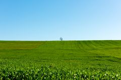 Lonely tree in a green farm field, minimalistic landscape Stock Photography