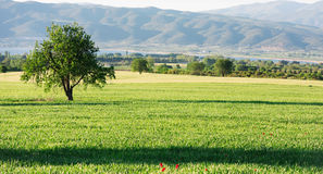 Lonely tree in a green field Royalty Free Stock Images