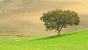 Lonely tree in a green field from Tuscany stock footage