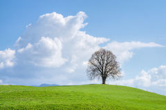 Lonely tree on green hill, blue sky and white clouds. Solitary big bald tree standing alone in a field in springtime against a blue sky with cumulus clouds Stock Images